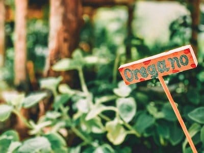 how to grow oregano in a pot