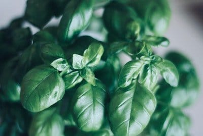 How to grow basil in a container