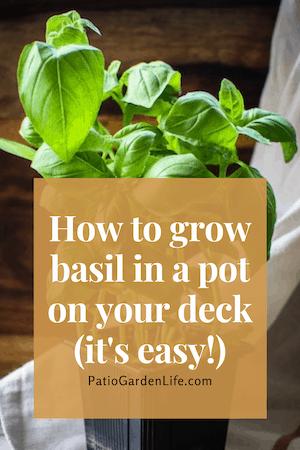 How to easily grow basil in a pot pin