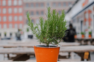 you can easily grow rosemary in a pot