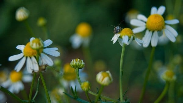 Chamomile flowers and bugs - how to grow chamomile in a pot