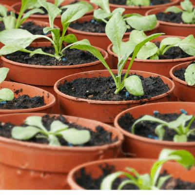 Seedlings in container garden