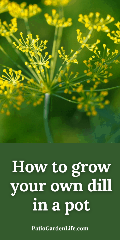 dill plant with yellow flowers with text How to grow your own dill in a pot