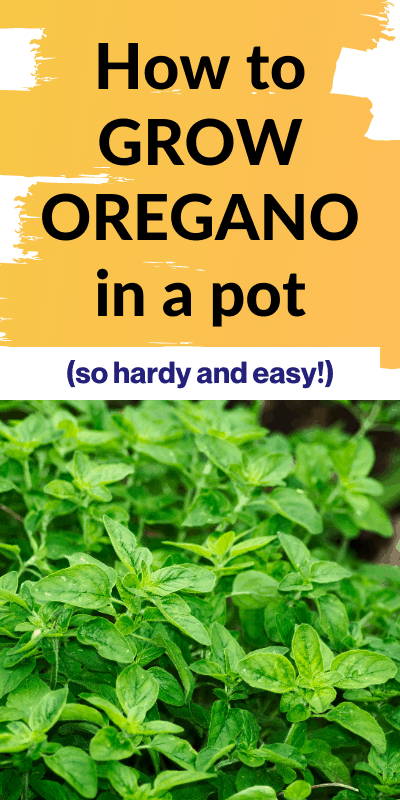 """Oregano plant with text """"How to grow oregano in a pot - so hardy and easy"""""""