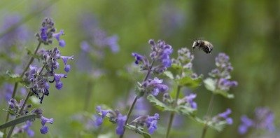 catnip growing in containers - purple flowers with bumblebee