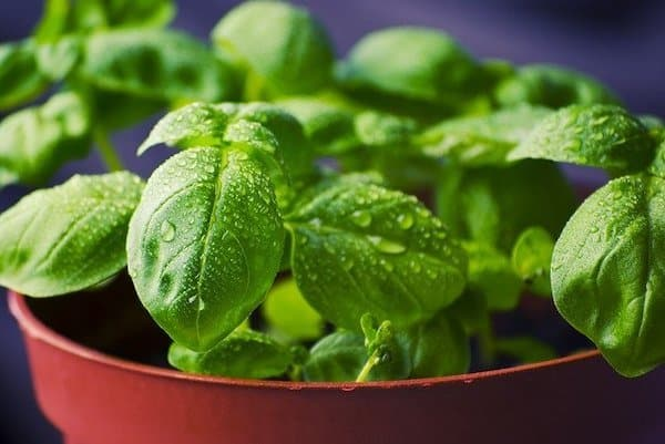 basil growing in pots - patio garden life
