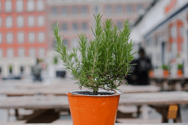you can grow rosemary in a deck garden