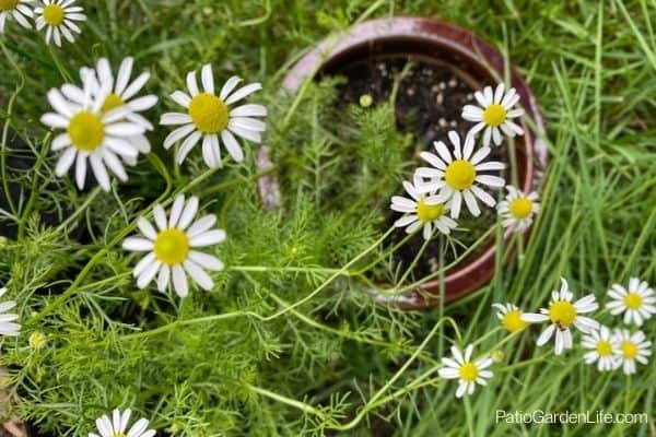 How to grow chamomile in a pot