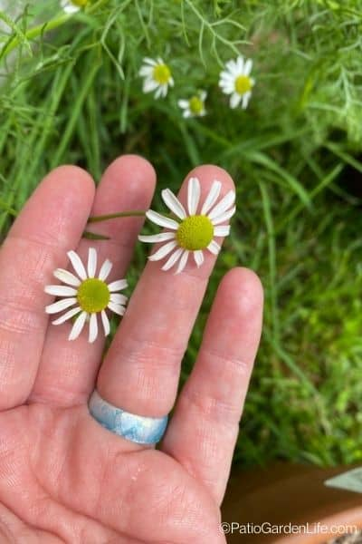 white and yellow chamomile blooms in a hand with green foliage behind