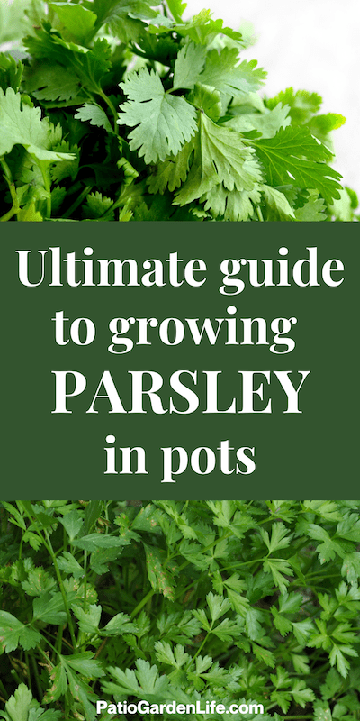 Two images of flat leaf parsley - overlay text Ultimate Guide to growing parsley in pots