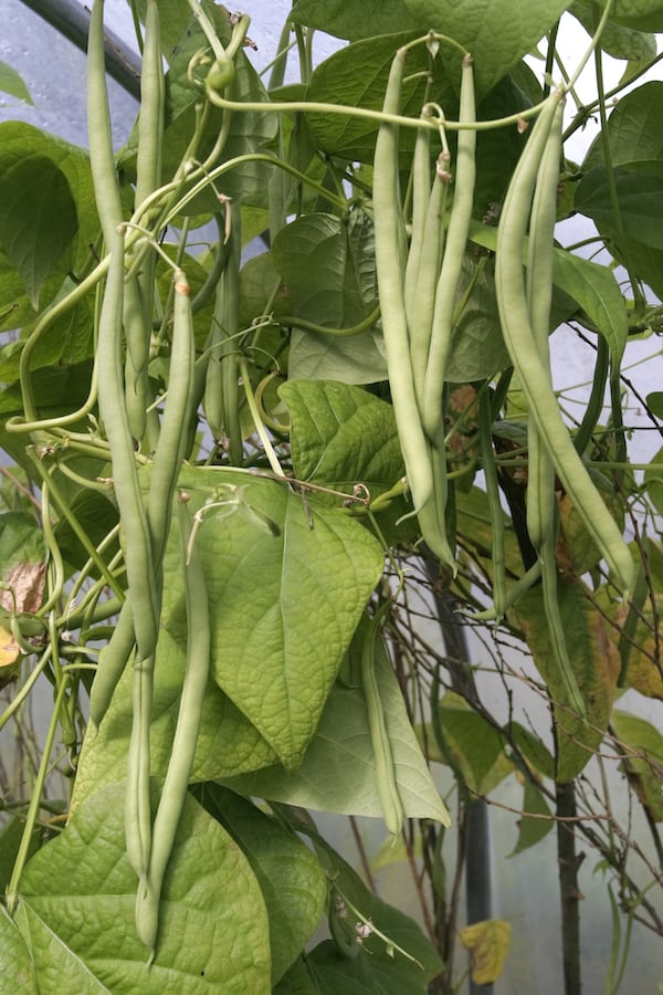 Green beans growing on a vine in a container garden - how to grow green beans in a pot