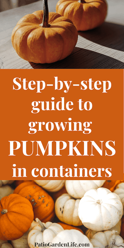 Miniature orange and white pumpkins on a wood background - overlay text Step-by-step guide to growing pumpkins in containers