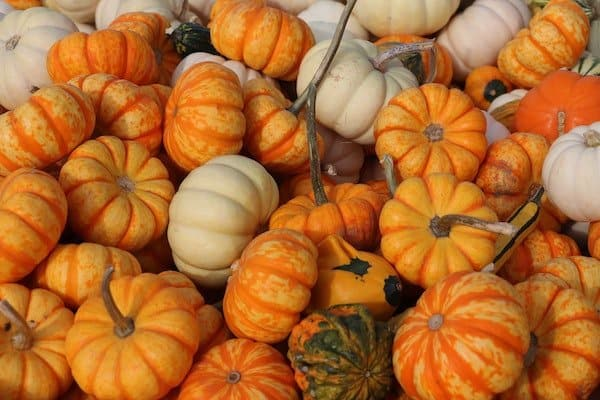 White, orange and multi-color miniature pumpkins harvested after growing in containers