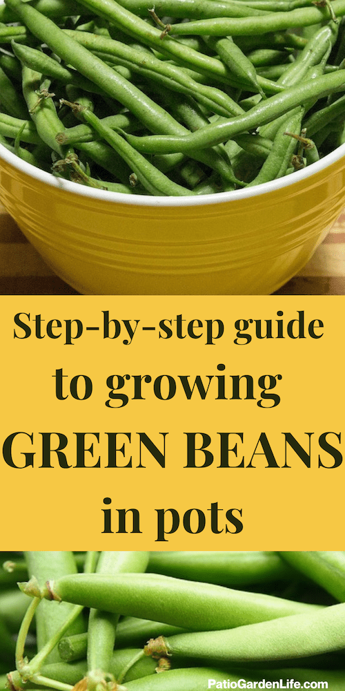 Green beans in a yellow ceramic bowl on a wood surface - overlay text step-by-step guide to growing green beans in pots