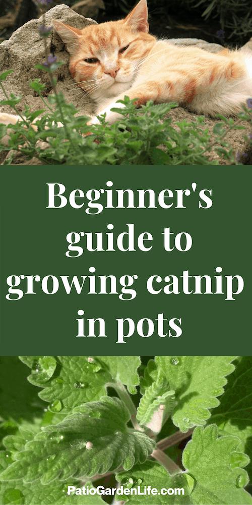 orange cat lounging in a garden - overlay text beginner's guide to growing catnip in pots