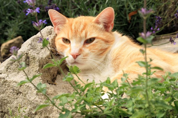 orange cat on a rock behind green catnip plant growing in a pot with purple flowers