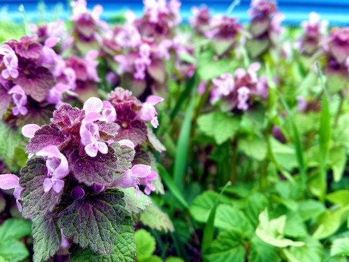 green catnip growing in a pot with purple flowers