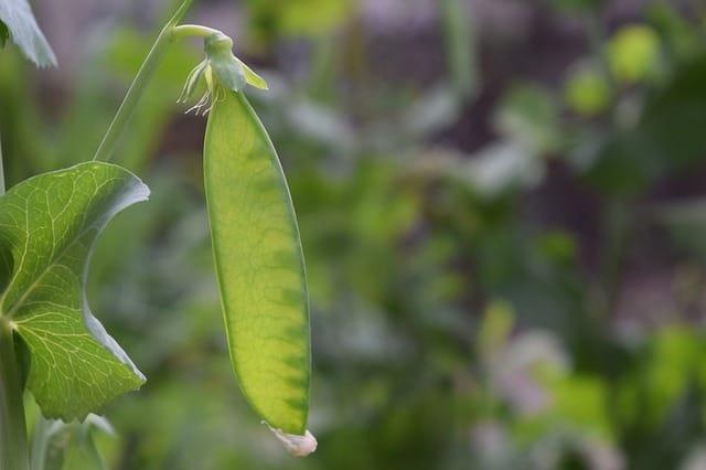 Green sugar pea pod growing on a vine