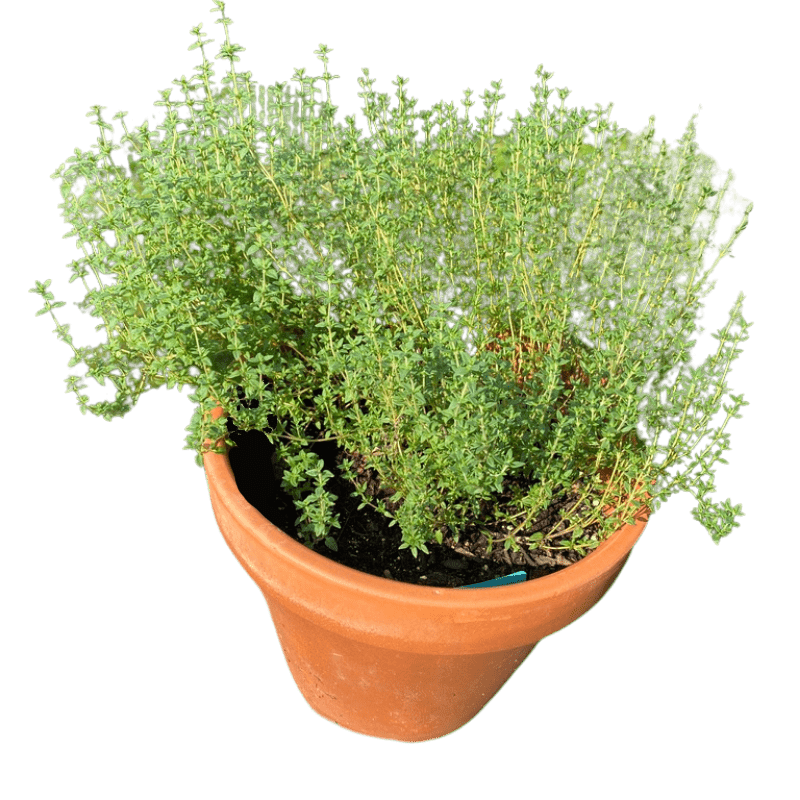 green thyme growing in a clay pot in a container garden