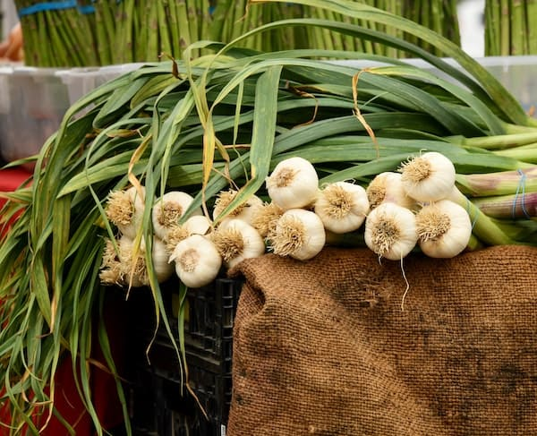 Pile of garlic plants on brown burlap sack, with white bulbs and stalks with green leaves
