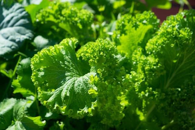 Green kale leaves in sunlight