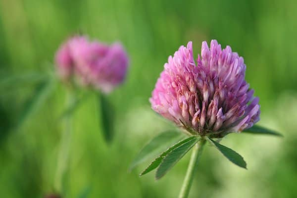 Purple chive flowers on green stems with green foliage edible flowers