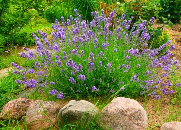 purple lavender flowers on green foliage growing out of the ground and surrounded by rocks