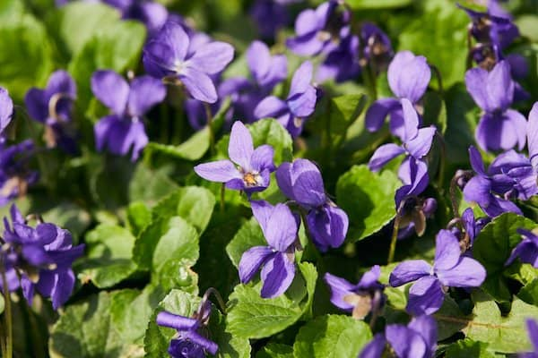 Purple violet blooms with green foliage - edible flowers