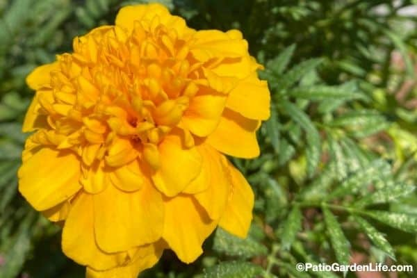 Bright yellow-orange marigold bloom with green foliage edible flower in a container garden