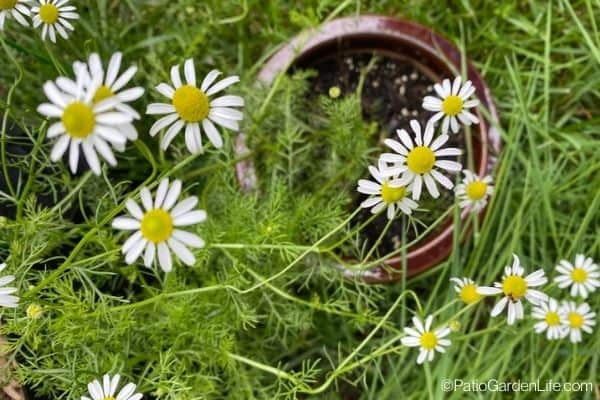 Chamomile flowers with white petals and yellow centers with green foliage growing out of a pot in a container garden
