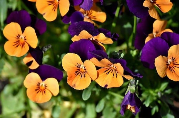 21 best edible flowers for container gardens