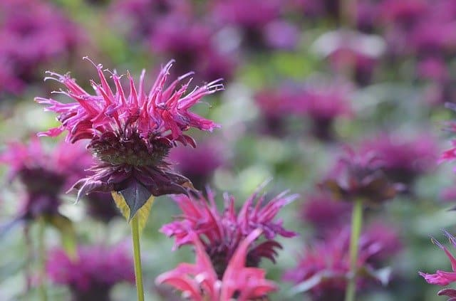 Bright pink and purple bee balm flowers on green stems