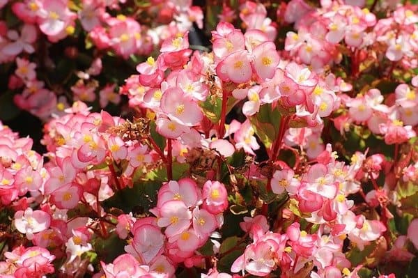 Clusters of pink and white begonias edible flowers