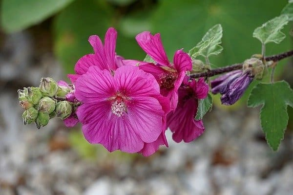 bright pink hollyhock blooms on brown stem with green foliage