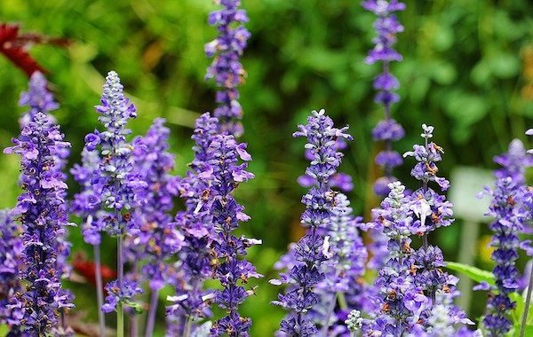 purple sage edible flowers on stems with green foliage in background