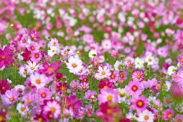Light, dark, and bright pink cosmos flowers with green foliage