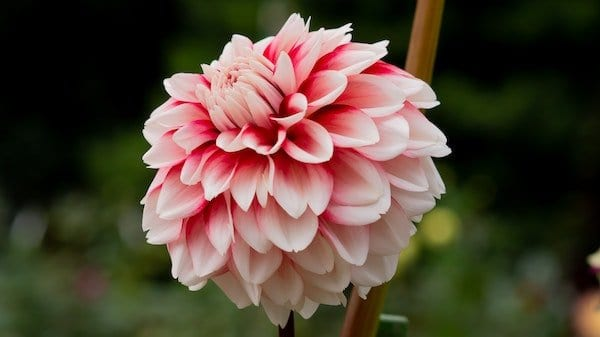 Dahlia flower with dark pink center and light pink outer petals