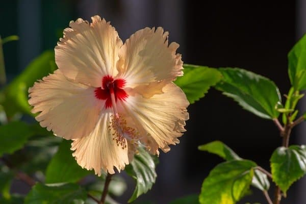 Pale yellow hibiscus flower with red center and green foliage
