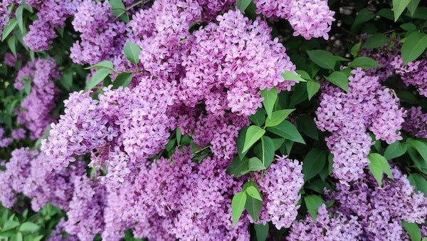 tight clusters of small purple flowers with green foliage