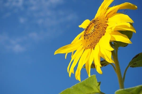 Sunflower with bright yellow petals and yellow seeds on a green stem with green foliage - edible flower