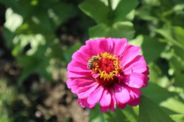 Bright pink zinnia bloom with a bee on the yellow stamen in the center with green foliage behind - edible flower